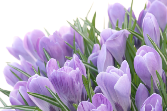 purple crocus blossoms in spring