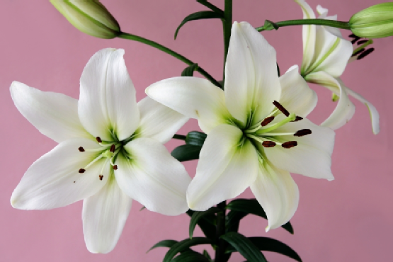 white lilies with black pollen on pink background