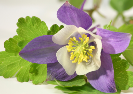 Single Lavender Columbine