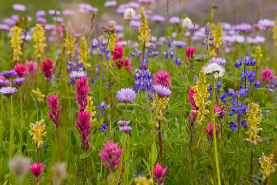 meadow of wildflowers, mt.rainier