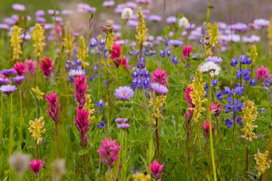 meadow of wildflowers, mt.rainier